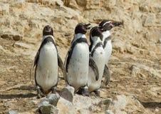 Humboldti del Spheniscus del pingüino de Humboldt Fotos de archivo libres de regalías