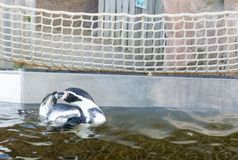 Humboldti penguin black and white colored penguin swimming in the water stock photography