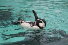 Humboldti spheniscus заплывания пингвина Humbolt Стоковое Изображение