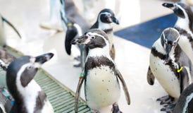 Humboldti spheniscus пингвина Гумбольдта стоковое фото rf