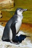 Humboldti spheniscus пингвина Гумбольдта стоя на скалистом береге с социальным Vespula Germanica оси сидя на его шеи Стоковая Фотография