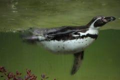 Humboldti spheniscus пингвина Гумбольдта Стоковое Изображение