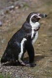 Humboldti spheniscus пингвина Гумбольдта Стоковые Фото