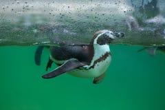 Humboldti spheniscus пингвина Гумбольдта Стоковое Фото