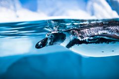 Humboldti van Spheniscus van de Humboldtpinguïn royalty-vrije stock foto