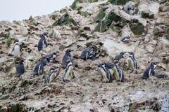 Humboldti van Spheniscus van de Humboldtpinguïn op de rotsen van de Ballestas-Eilanden in het Nationale park van Paracas, per stock foto
