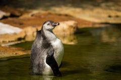 Humboldti van Spheniscus van Humboldtpinguïnen in het water Royalty-vrije Stock Foto