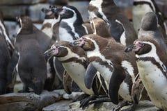 Humboldti van Spheniscus van de Humboldtpinguïn royalty-vrije stock fotografie