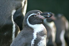 Humboldtpinguïn bij Twycross-dierentuin Royalty-vrije Stock Foto