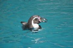 Humboldtpinguïn die op oppervlakte van blauw water glimlachen Royalty-vrije Stock Fotografie