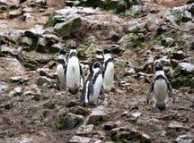 Humboldtpinguïn in het eiland Ballestas, het Nationale Park van Paracas in Peru. Stock Fotografie