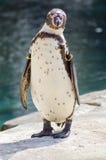 Humboldtpinguïn het Verzorgen stock afbeeldingen