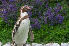 Humboldtpinguïn met gebladerteachtergrond royalty-vrije stock foto