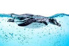 Humboldtpinguïn (Spheniscus-humboldti) stock afbeelding