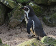 Humbolt penguin Stock Photography