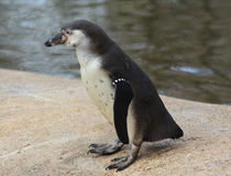 Humbolt penguin Royalty Free Stock Photography