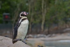 Humbolt penguin Royalty Free Stock Image