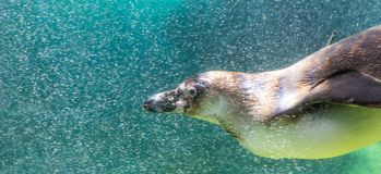 Humbolt Penguin Swimming. A Humbolt Penguin swims underwater surrounded by air bubbles Stock Photo