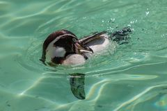 Humbolt Penguin Cleaning While Swimming stock photography