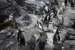 Free Humbolt Penquin Group Stock Photo - 83611160