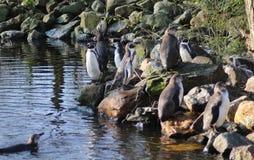 Humbolt penquin group Stock Photo