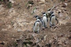Humbolt-Pinguin lizenzfreies stockfoto