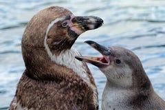 Humbolt pingwiny Zdjęcia Royalty Free