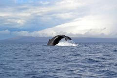 Humbpack whale Stock Images
