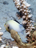 Humbug damsel fish. Damsel fish in the red sea Royalty Free Stock Photos