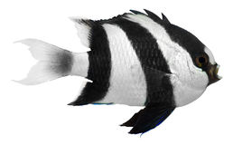 Humbug Damselfish Royalty-vrije Stock Foto