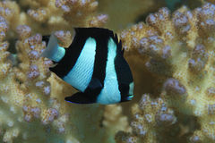 Humbug damselfish Stock Images