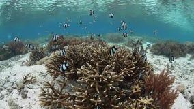 Humbug Damselfish and Shallow Reef in Raja Ampat stock video