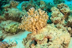 Humbug damsels around soft coral royalty free stock images