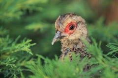 Hume's pheasant Royalty Free Stock Photos