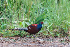Hume`s pheasant, Mrs Hume`s pheasant, Bar-tailed pheasant ,Birds. Stock Image