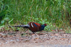 Hume`s pheasant, Mrs Hume`s pheasant, Bar-tailed pheasant ,Birds. Royalty Free Stock Photos