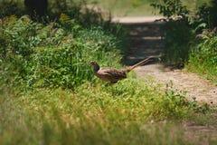 Hume`s pheasant, Mrs Hume`s pheasant, Bar-tailed pheasant Royalty Free Stock Photos