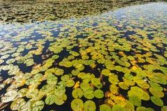 Humedal de las hojas de las Lil-mentiras del agua Foto de archivo libre de regalías