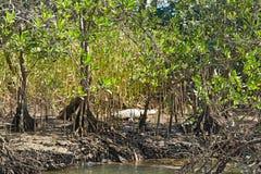 Humedales con los mangles y el cocodrilo Imagenes de archivo