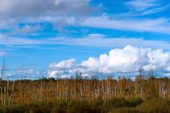 Humedales, regiones pantanosas y abedules, nubes blancas en el cielo azul Fotografía de archivo