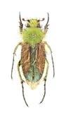 Humeralis de Pygopleurus Fotografía de archivo libre de regalías