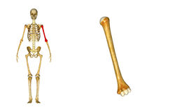 Humerus bone Royalty Free Stock Photo