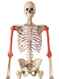 The humerus bone Royalty Free Stock Photos