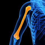 The humerus bone Royalty Free Stock Images