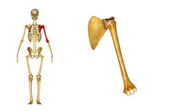 Humerus bone and Scapula Shoulder blade. The humerus is the both the largest bone in the arm and the only bone in the upper arm. Many powerful muscles that royalty free stock photos