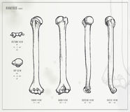 Humerus Royalty Free Stock Photography