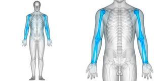 Humerus för anatomi för gemensam plågor för människokroppben med radie- och armbågsbenben stock illustrationer