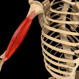 Humerus muscle Royalty Free Stock Images