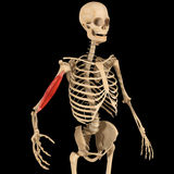 Humerus muscle Royalty Free Stock Photos