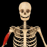 Humerus muscle Royalty Free Stock Photo